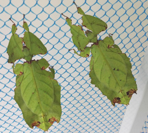 Leaf insects in AUC cage