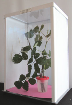 ELC stick insect cage with Pink Winged stick insects