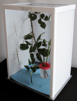 ELC stick insect cage with Thailand stick insects