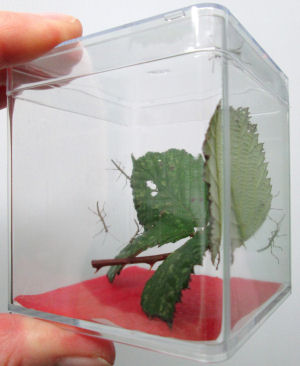 QBOX with hatchling stick insects